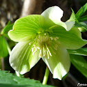 Green Hellebore
