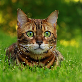 by Jane Bjerkli - Animals - Cats Portraits ( expression, cat, grass, green, pet, summer, bengal, portrait, animal, eyes )