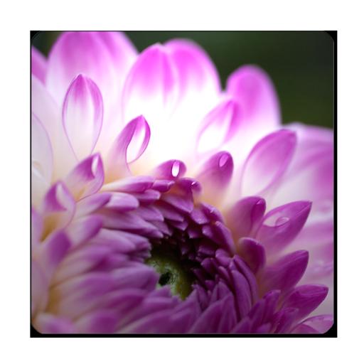 Dahlia Wallpaper 攝影 App LOGO-APP試玩