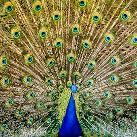Saint Augustine Peacock by David Long - Instagram & Mobile iPhone ( saint augustine, fountain of youth, florida )
