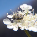 Varied carpet beetle. Escarabajo de las alfombras