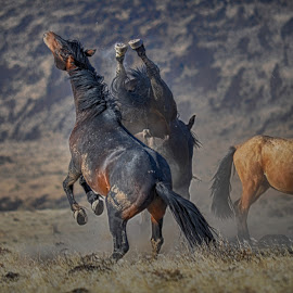 Settling an Argument by Jim Shafer - Animals Horses ( yerington, cowgirls, high school, horses, cowboys, rodeo, junior high school )