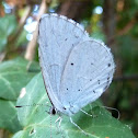 Holly Blue / Krkovin plavac
