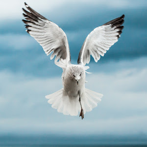 seagull_in_flight.jpg