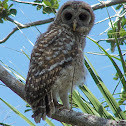 Barred Owl (fledgling)
