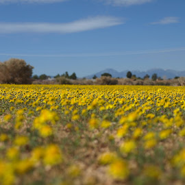 Spring Gold by Wildflowers North America - Landscapes Prairies, Meadows & Fields ( wildflowers, goldfields, spring wildflowers, california, apple valley )
