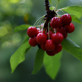 Cherries on the tree by Iva Aviana - Food & Drink Fruits & Vegetables ( juicy, fruit, bokeh, plant leaves, cherry, cheries, red, vitamins, tree, fresh, foliage, healthy, vegetarian )