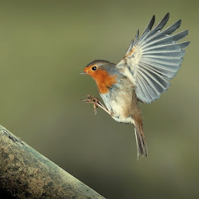 perfect landing by Wise Photographie - Animals Birds ( bird, robin, wood, nature, wise, animal )