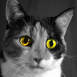 Color Splash Contest Cat by Christiane Baur - Animals - Cats Portraits ( cat, cats eyes, watching, green, mysterious, gold, feline, golden, eyes,  )