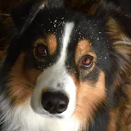 by Blake Jackson - Animals - Dogs Portraits ( dogsofinstgram, walkingthedogs, austrianshepherds, aussie )
