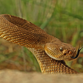 Crotalus ruber by Rich Lane - Animals Reptiles
