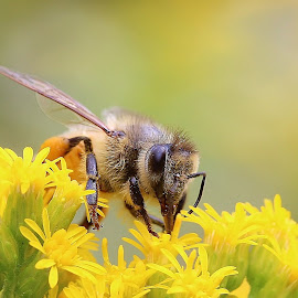 Honey Bee by Oona Cutrone - Animals Insects & Spiders
