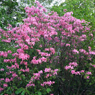 Early azalea