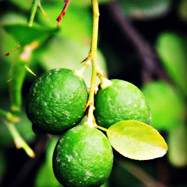 Limes on a Tree by Tamsin Carlisle - Nature Up Close Gardens & Produce ( fruit, tree, oman, orchard, lime, leaves, oasis, garden, color, colors, landscape, portrait, object, filter forge )