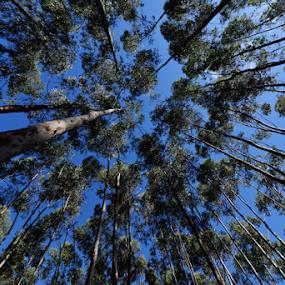 Eucalipto - Sao Pedro MS by Marcello Toldi - Nature Up Close Trees & Bushes
