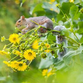Best Seat  by Robert Wallace - Animals Other Mammals ( nature, wildlife, flowers, flower, squirrel, animal )