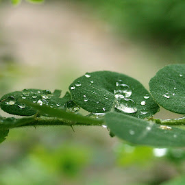 Water drops by Nemes Bogdan - Nature Up Close Leaves & Grasses ( water, macro, nature, drops, leaves )