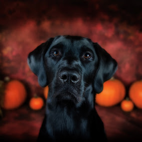 Pretty Girl by Sarah Hauck - Animals - Dogs Portraits ( black dog, pumpkin, dog portrait, halloween, black labrador )