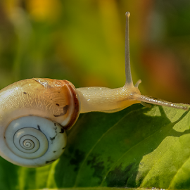 snail by Mihaly Istvan - Animals Other