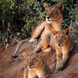 Happy Family by Buddhilini de Soyza - Animals Lions, Tigers & Big Cats ( big cat, lioness, kenya, cubs, africa, samburu )