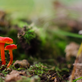 Tiny mushrooms by Bastiaan Buurman - Nature Up Close Mushrooms & Fungi ( mushroom, red, nature, nature up close, mushrooms )