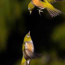 Vertical Defense by Trevor Bond - Animals Birds ( bird, nz, waxeye )