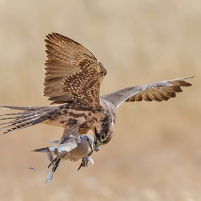 lanner falcon catch by Jan Fourie - Animals Birds
