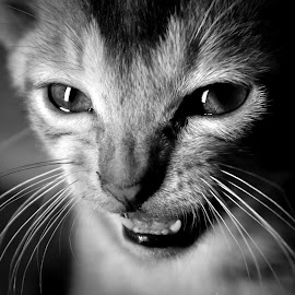 anger by Tareq Touhid - Animals - Cats Portraits