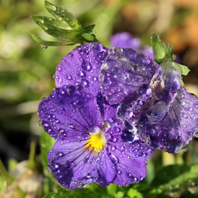 Pansy by David Smith - Flowers Single Flower ( purple, nature, dew, pansy, reflections, sunlight, garden, flower )
