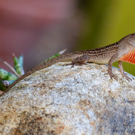 Lizard Love by Deirdre Cavener - Animals Amphibians ( lizard )