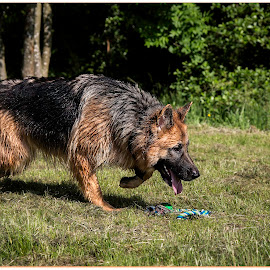 Amber_0002 by Grant Humphrey - Animals - Dogs Running ( photohumph, german shepherd, portrait, gsd )