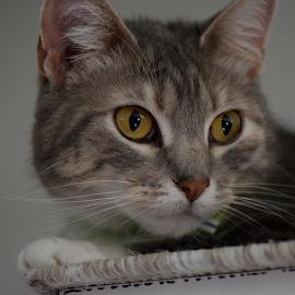 Pretty Girl by Lin Fauke - Animals - Cats Portraits ( gypsie, kitten, cat, rescue, rescued, eyes )