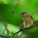 Long-billed Gnatwren
