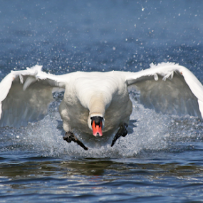 Perfect launch by Mia Ikonen - Animals Birds ( mute swan, male, launch, finland, attack, , bird, fly, flight )
