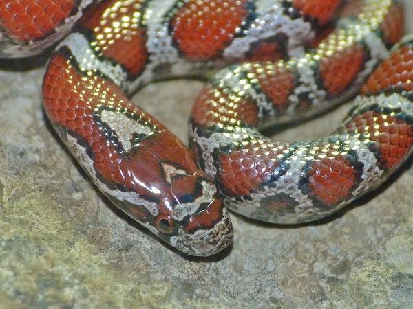 Milk snake (Juvenile Eastern x Red intergrade)   Project Noah