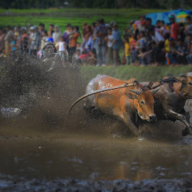 Pacu Jawi by A Friyana Wiradikarta - Sports & Fitness Other Sports ( minangkabau, culture attraction, racing bull, sport, west sumatera, culture )