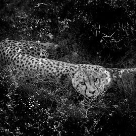 Cheetah mid afternoon by Hugh Mcguckian  - Animals Lions, Tigers & Big Cats