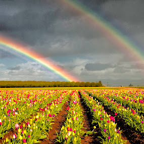 Double Rainbow in field of tulips by Chris Bartell - Landscapes Weather ( field, color, tulips, flowers, rainbow, rain, , colorful, mood factory, vibrant, happiness, January, moods, emotions, inspiration )