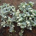 Hooded Rosette Lichen