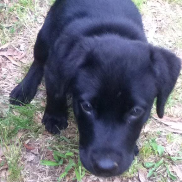 Labrador Retriever and Pit Bull mix | Project Noah