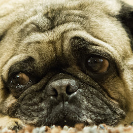 Izzy The Pug by Brian Pierce - Animals Other ( canon, face, 2.8, cute, dog, pug, animal,  )