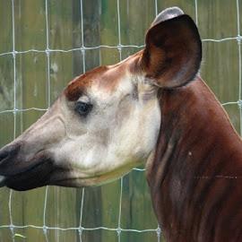 Okapi by Christina McGeorge - Novices Only Wildlife (  )