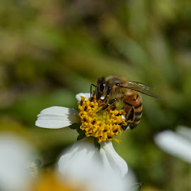 Bee by Shalimar Rodriguez de Paez - Animals Insects & Spiders ( yard, grass, bee, weed, flowers, insect, animal )