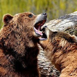 Playtime by Erin Czech - Animals Other Mammals ( fight, bears, brown, teeth, grizzly bear )