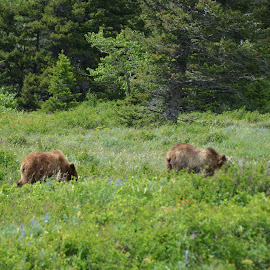 Two Grizzlies, Glacier National Park by Greg Koehlmoos - Landscapes Prairies, Meadows & Fields ( grizzlies, bear safety, hiking in glacier, montana, grizzley bears, young grizzlies, hiking, glacier national park,  )