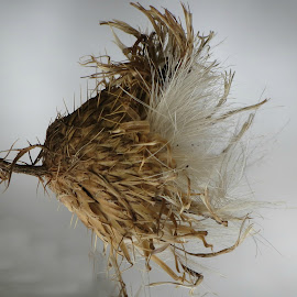 Dried Up Thistle Flower by Cindy Cooper Houser - Nature Up Close Other Natural Objects ( fluffy, thistle, dried, fall, unusual, flower )