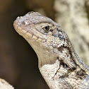 Little Bahama curly-tailed lizard