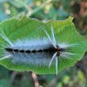 Florida Tussock Moth