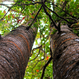 twin kauris by Aaron Stephenson - Nature Up Close Trees & Bushes ( nature, native, trees, forest, nz, kauri )