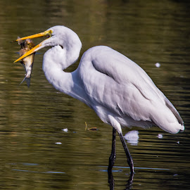 Fishing Egret by Jennifer McWhirt - Animals Birds ( old hickory lake, animals, photographybyjenmcwhirt.com, fish, tennessee, birds, egret )
